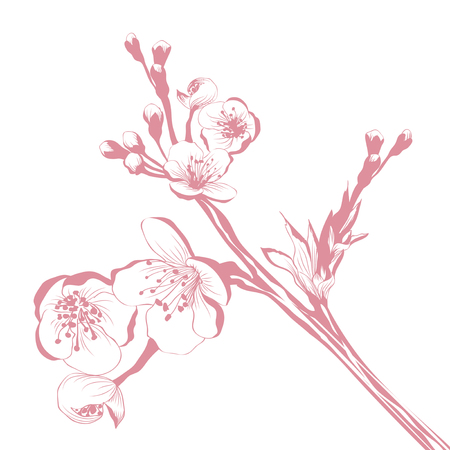 cherry tree: Vintage Cherry Blossom Branch Over White Background