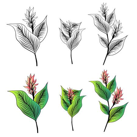 Kurkuma Blumen gezeichnet Sammlung über Weiß Vektorgrafik
