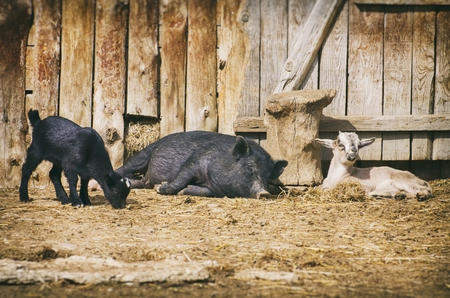 Farm Yard With Animals at Rest  Pig and Goats