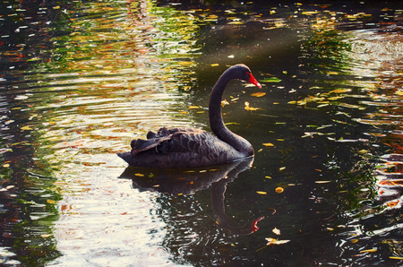 Black Swan at Autumn Pond in Sunny Day Reklamní fotografie