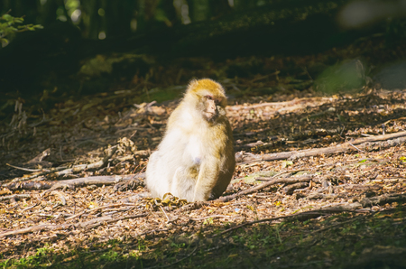 Single Monkey in the Forest at Sunny Day