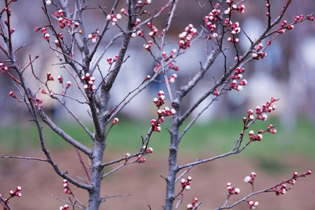 arisen: Plum buds in the garden arisen in spring time Stock Photo