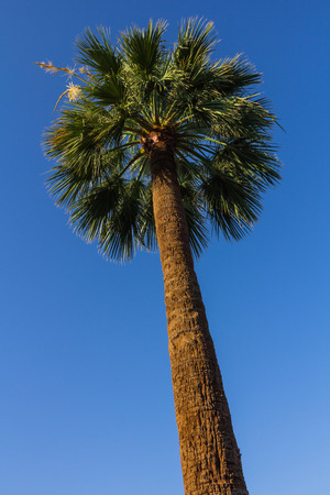 Tall palm tree against blue sky in a sunny day photo