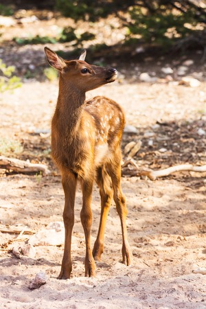 feeble: Portrait of a little fawn at the Grand Canyon
