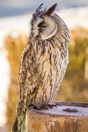 rapturous: A closeup with an owl sitting on a log. Stock Photo