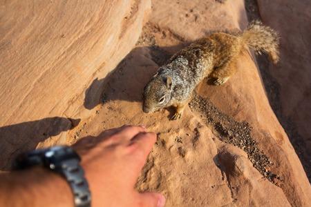 A closeup of a squirrel  at the Grand Canyon, Arizona. photo