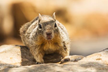 Ground squirrel resting on a boulder. Capture taken at Grand Canyon, Arizona, USA. photo