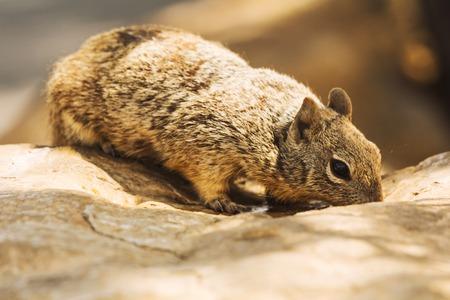Rock brown squirrel drinking water on a boulder. Capture taken at Grand Canyon, Arizona, USA photo