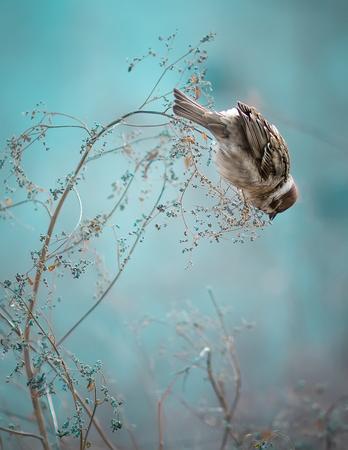 Photo of Sparrow Bird Sitting on Old Stick. Frozen Sparrow Bird Winter Portrait Bright Background