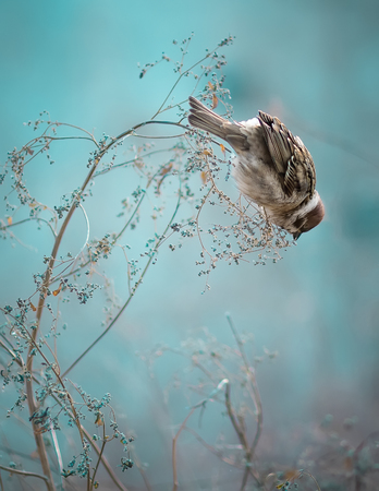 Photo of Sparrow Bird Sitting on Old Stick. Frozen Sparrow Bird Winter Portrait Bright Background