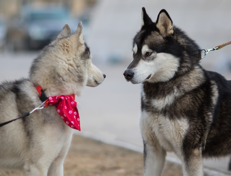 gray wolf black and white: Two Siberian Husky Dogs looking at each other