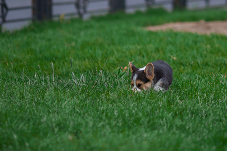 Photo of Cute Little Welsh Corgi Puppy Portrait. Pembroke Corgi Dog Playing in Green Grass Park