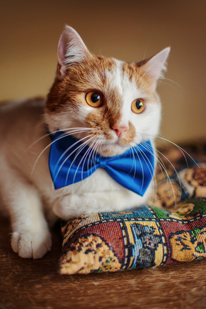 Pretty red cat with bow tie lying on sofa portrait