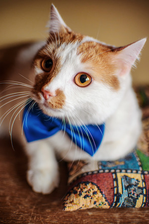Beautiful red cat portrait with bow tie and cute eyes