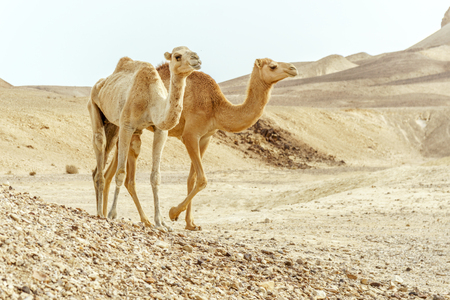 Close couple of two camels family walk together through day desert. Wildlife in wilderness. Travel and tourism in middle east nature. Stock Photo