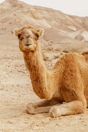 Picturesque desert dromedary camel lying on sand and looking into camera. Summer sahara travel and tourism. Blue sky and beautiful outdoor landscape on background Archivio Fotografico