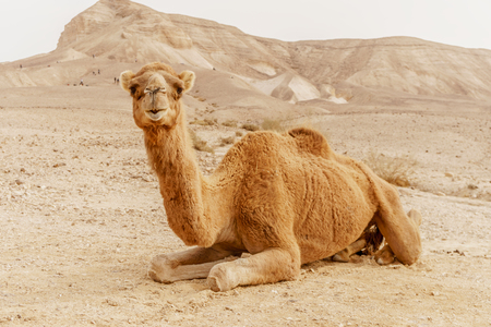 Picturesque desert dromedary camel lying on sand and looking into camera. Summer sahara travel and tourism. Blue sky and beautiful outdoor landscape on background Stockfoto