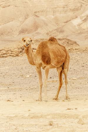 Camel walking through wild desert dune. Safari travel to sunny dry wildernes in africa