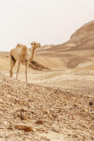 Camel walking through wild desert dune.
