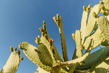 Tropical green blossom cactus plant with fruit in red color, cactus spines. Prickly pear cactus close up, Bunny Ears cactus or Opuntia Microdasys.