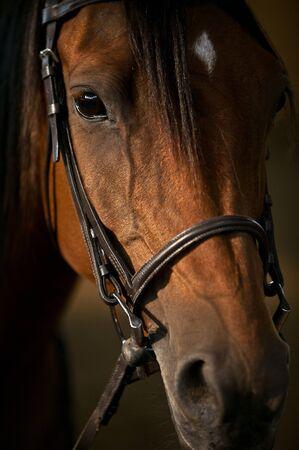 Arabian horse close-up  Foto de archivo