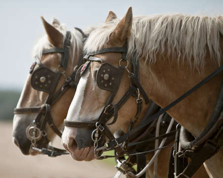 Team of horses in harness