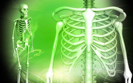 rib: Digital illustration of skeleton and human rib in color background
