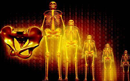 pelvis: Digital illustration of skeleton and human pelvis in color background