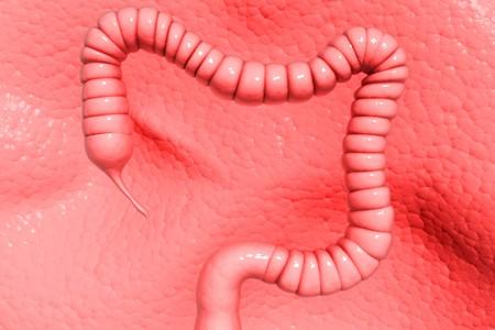 Human colon  Stock Photo - 8057737