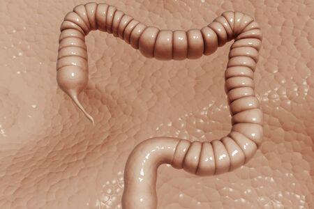 Human colon   photo
