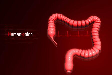 Human colon Stock Photo - 8057474