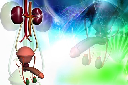 Male urinary system in digital design  photo