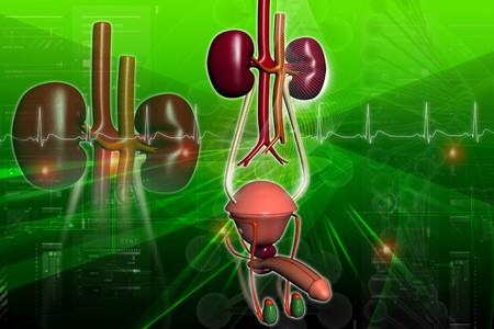 Male urinary system in digital design Stock Photo - 8067859