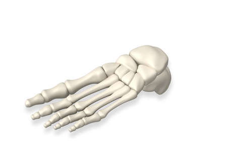 tarsal: Foot bone in isolated background