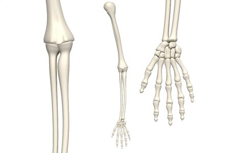 wrist hands: skeleton arm on white background