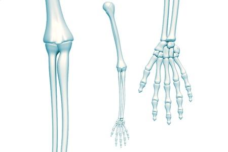 skeleton arm on white background