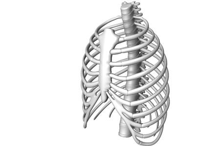 Human body rib cage   Stock Photo - 8368354
