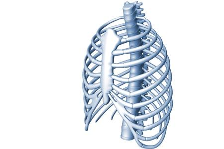 rib cage: Human body rib cage