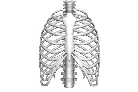 Human body rib cage    photo