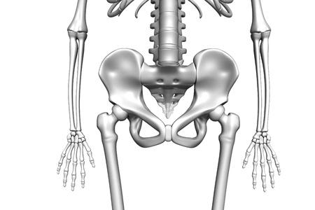 pelvis:  Human pelvis in isolated background Stock Photo