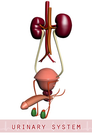 3d urinary system  photo