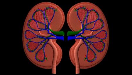 kidney Stock Photo - 8948365