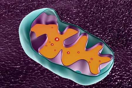 Mitochondrion cross section photo