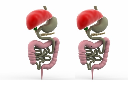 digestive system Stock Photo - 10992394