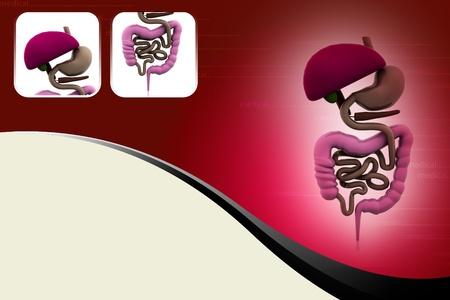 digestive system Stock Photo - 10990831