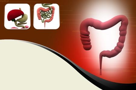 digestive system Stock Photo - 10990868