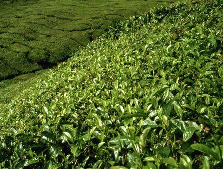 cameroon: Piantagione di t� in Camerun Highlands in Malesia  Archivio Fotografico