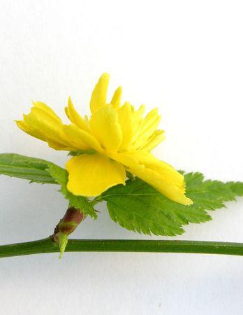 Flowers of the shrub Kerria (Kerria japonica) Stock Photo - 2689531