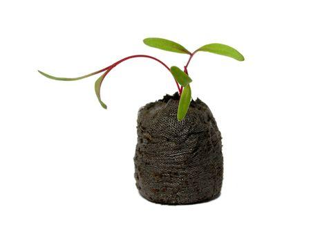 Seedling in a peat pot - mangold (Beta vulgaris) photo