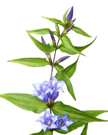 gentian flower: Willow Gentian (Gentiana asclepiadea) Stock Photo